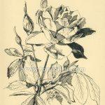 Ill012_roses_0